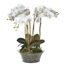 White Orchid Phalaenopsis Plants with Moss in Shallow Glass Bowl